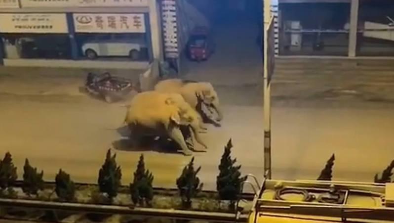 峨山縣城街道出現野生象。 (影片截圖/正觀視頻)