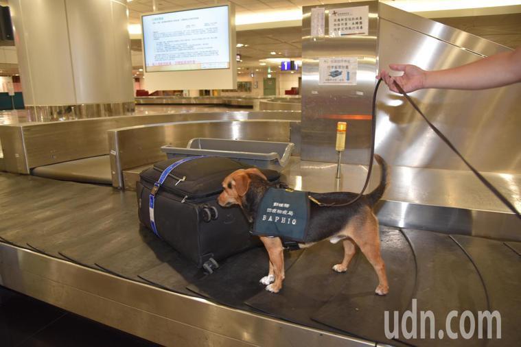 為防範新冠肺炎疫情,桃園機場平均每小時就消毒一次,過去是用漂白水太刺鼻,讓檢疫犬...