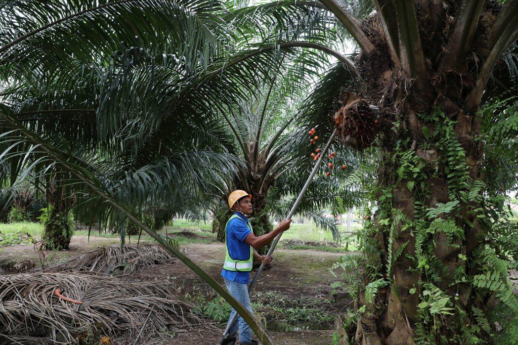 棕櫚油價格近來大漲,很可能會導致從餐廳到化妝品製造業者的成本升高,也可能改變消費...