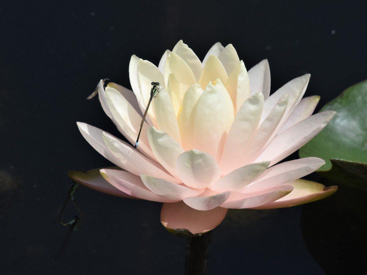 觀音蓮因為花型像似觀音寶座獲名,氣温在攝氏16度左右就能開始開花。 圖/沈正柔