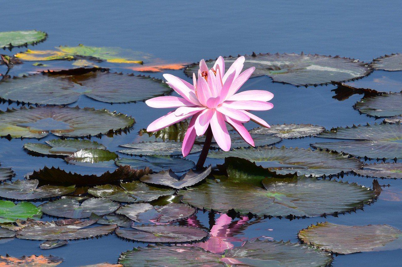 浮葉邊緣像鋸齒的齒葉睡蓮則是晚上開花,午后閉合 圖/沈正柔