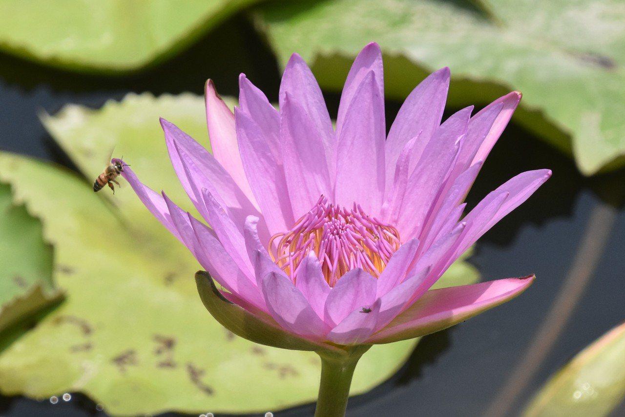 當天午后離開花市時,齒葉睡蓮花朶已經閉合入睡,香水和觀音蓮仍然撐著場面。 圖/沈...