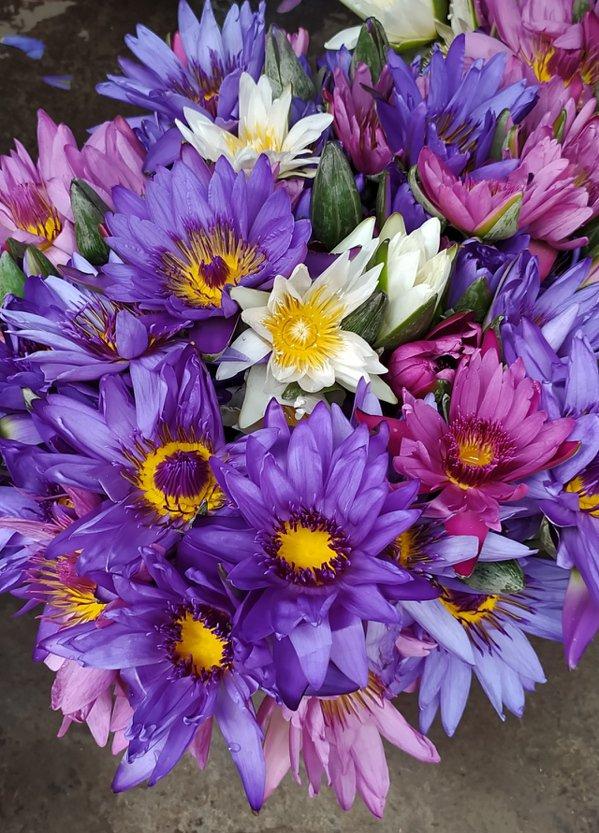 香水睡蓮,經過幾十年品種改良,花色已從當初五色,發展成九大色系 圖/沈正柔
