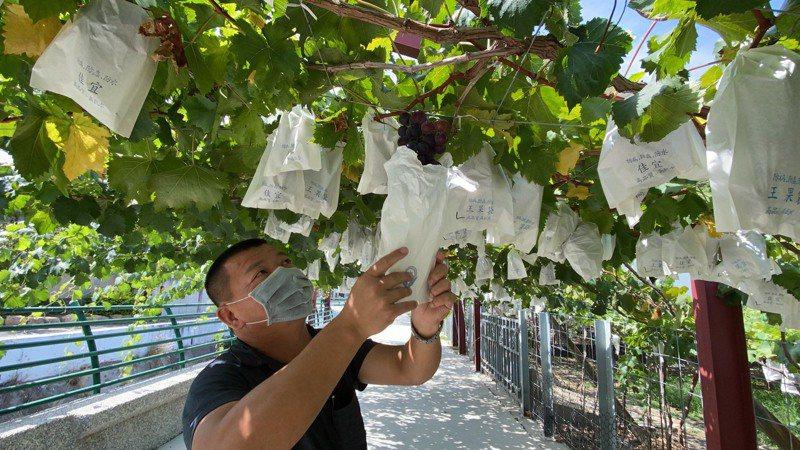 彰化葡萄買氣受葡萄盤商染疫影響,就連知名葡萄產地大村鄉也受波及,葡萄農說夏果上市最近葡萄最好吃,但訂單卻少了3成。記者林宛諭/攝影