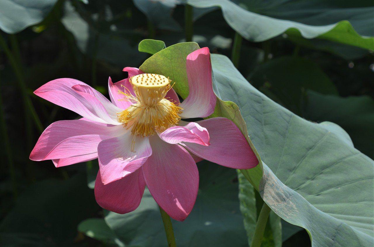賞花時有人問:「這是荷花,還是蓮花?」其實,荷花就是蓮花。 圖/沈正柔