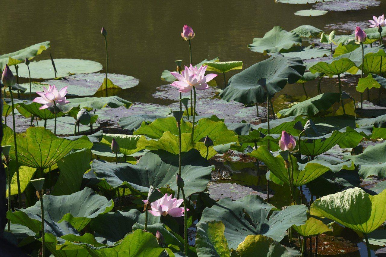 紅白蓮花開共塘,兩般顏色一般香。 圖/沈正柔