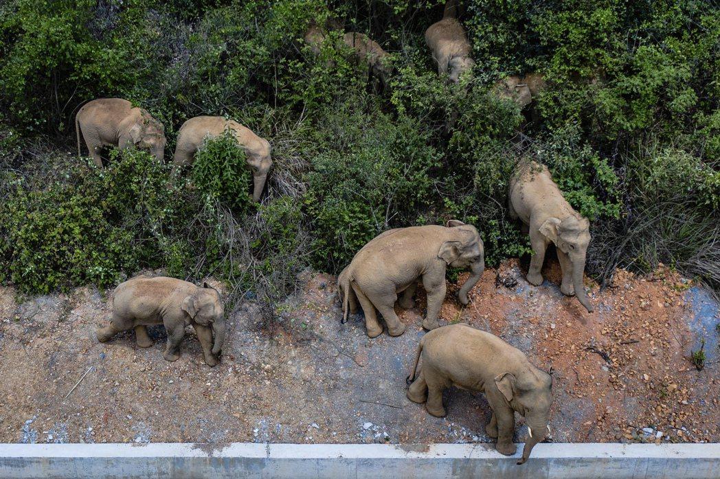 圖為監測單位攝影記錄下的象群,目前象群已在6月2日進入昆明市晉寧區雙河鄉,遷徙已...