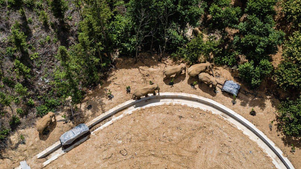 圖為監測單位攝影記錄下的象群。牠們是原本生活在雲南西雙版納「勐養保護區」的亞洲象...