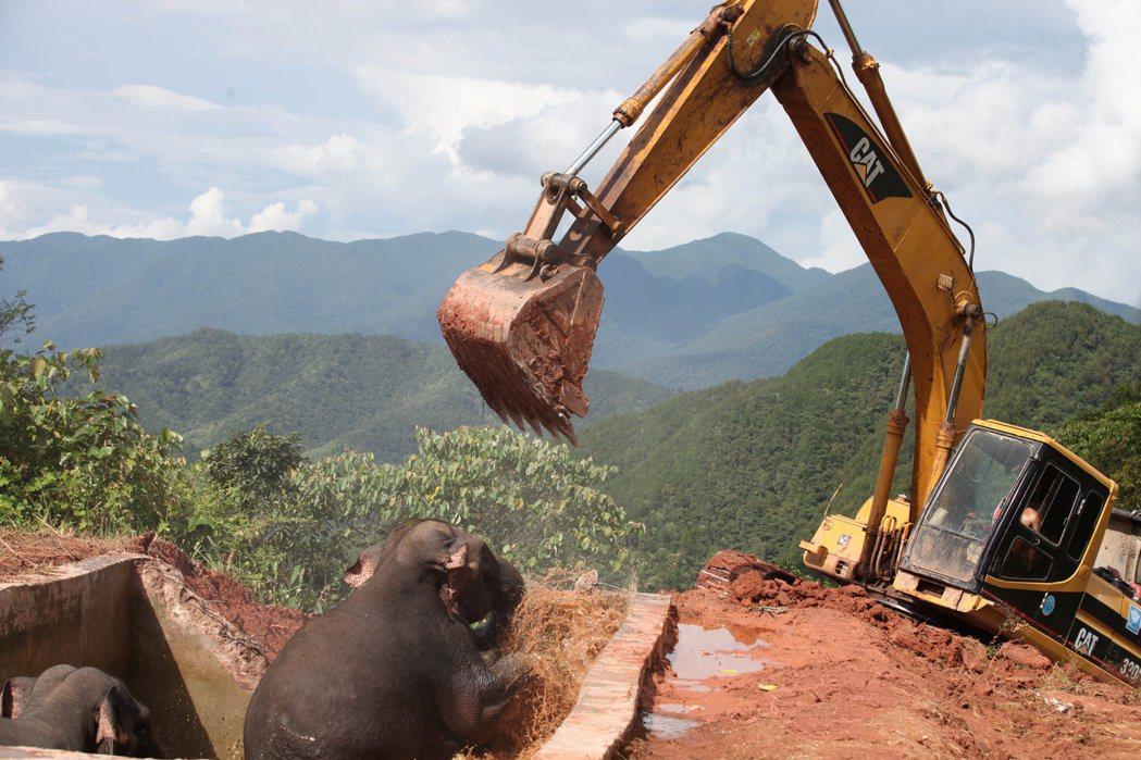 此為2016年10月,中國雲南省西雙版納,有野生亞洲象失足落入人造蓄水池中。救援...