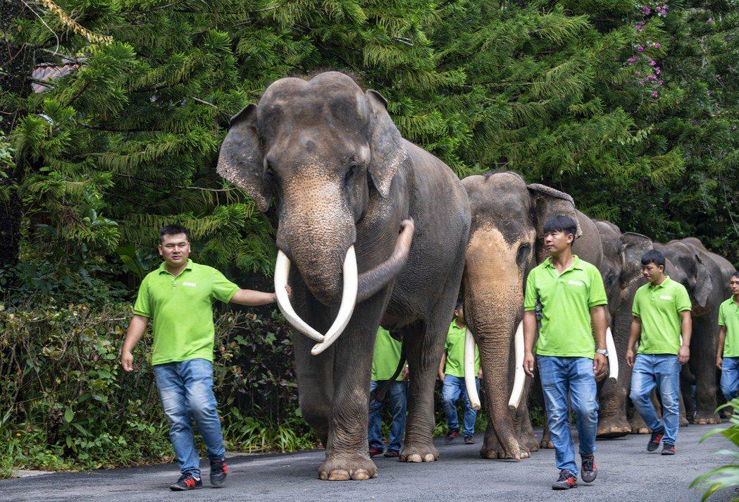 圖為雲南西雙版納舉行「世界大象日」活動,工作人員牽引著大象遊行。 圖/新華社