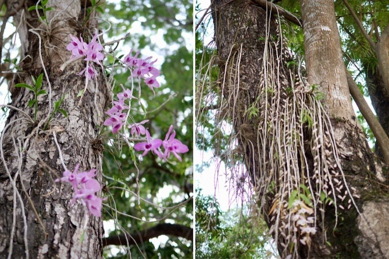 都會森林公園裡的大樹樹幹上種了很多的天宮石斛蘭(瀑布蘭),花苞開滿即將綻放。
