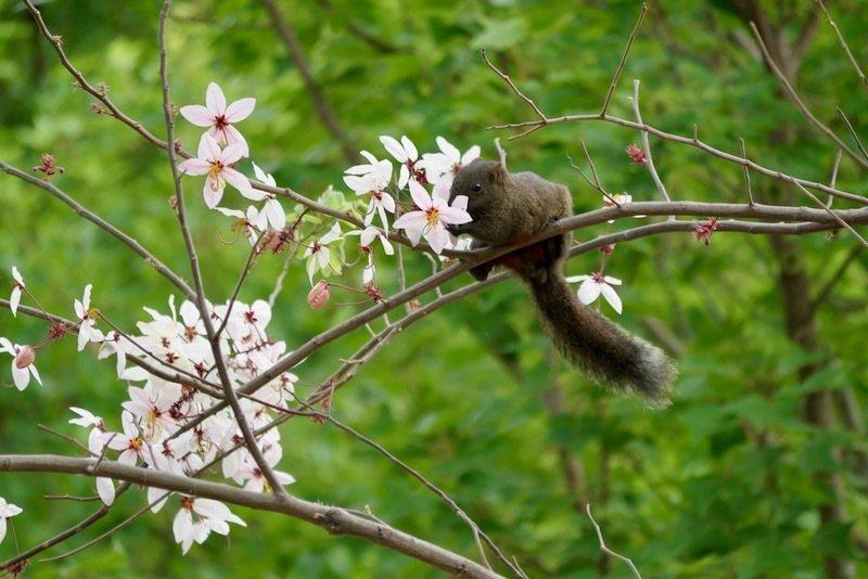 松鼠正在吃晚開的花旗木花蜜。