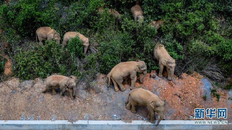 北遷野象群連夜進入昆明,當地24小時監測啟動布防。新華社