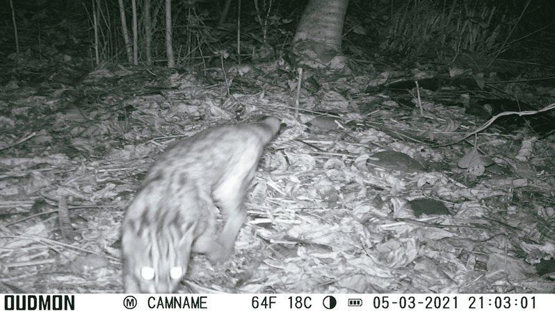 苗33支線仍在施工,生態檢核監測紀錄到石虎等野生動物蹤影。圖/苗縣府提供