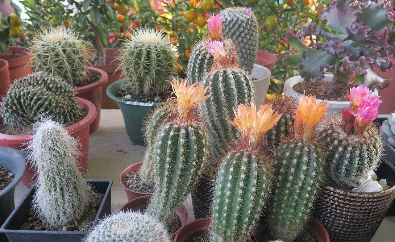 「多肉植物」成為花市消費者最夯的選項之一。 圖/高雄市花卉協會提供