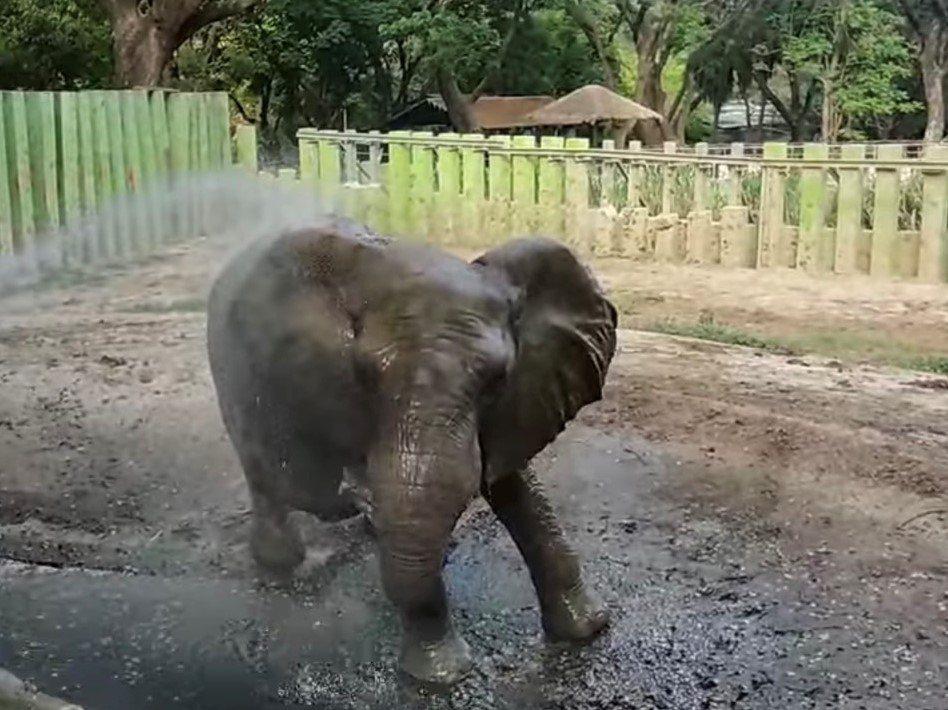 高雄壽山動物園陸續推出黑熊吃早餐、大象玩水的直播畫面。 圖/取自壽山動物園臉書