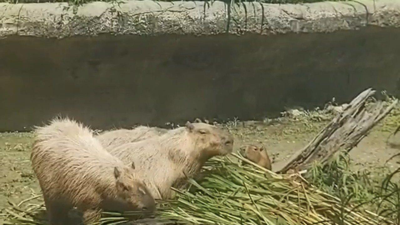 台北市立動物園在IG直播水豚吃草的萌樣。 圖/翻攝自台北市立動物園IG