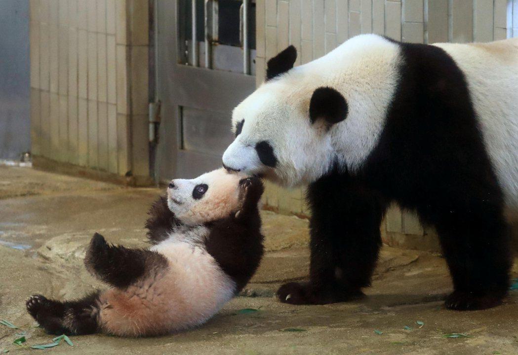 熊貓「真真」(右)與孩子玩耍。美聯社