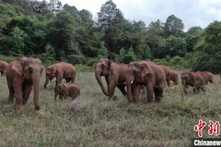 雲南大象為何北遷500里 還敲門向村民討食物?