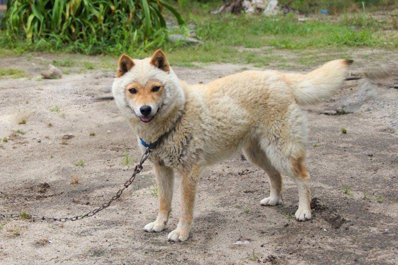 日本網友貼出「山陰柴犬」換毛期的照片,樣子就像是綿羊與柴犬合成一般。圖擷取自twitter
