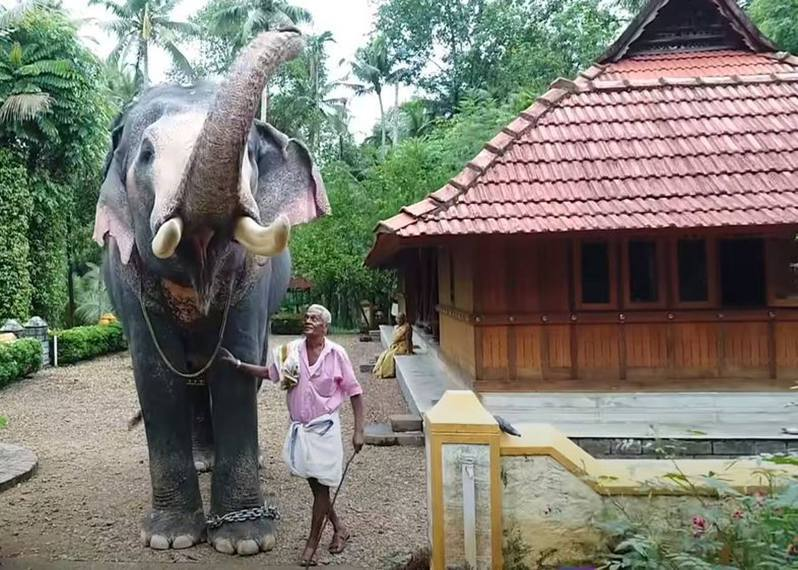 印度1名象夫25年來與大象布拉瑪達丹(Pallat Brahmadathan)合作無間,早前象夫病逝,大象特地徒步2小時前往奔喪。(YouTube「Ulsavakeralam」影片截圖)