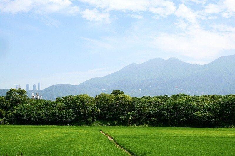 近捷運站的稻田。