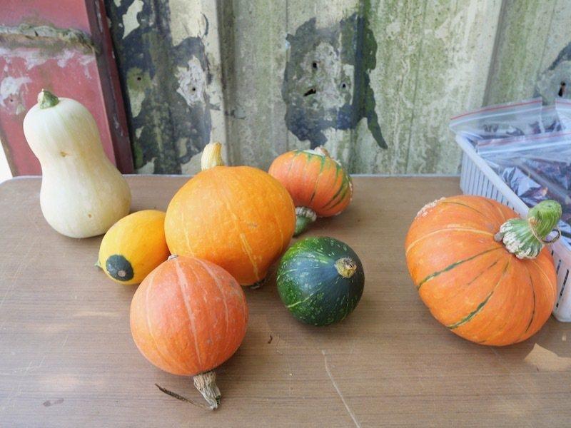 在地小農當天摘下成熟的南瓜,新鮮度一百,買幾個回去。