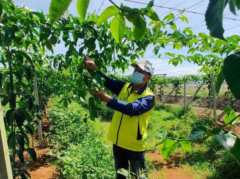 南投縣埔里鎮百香果因乾旱,開花結果狀況極差,產量大受影響。圖/埔里公所提供