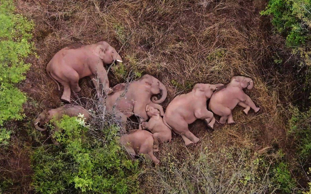 「躺平的大象,也會做中國夢嗎?」 圖/法新社