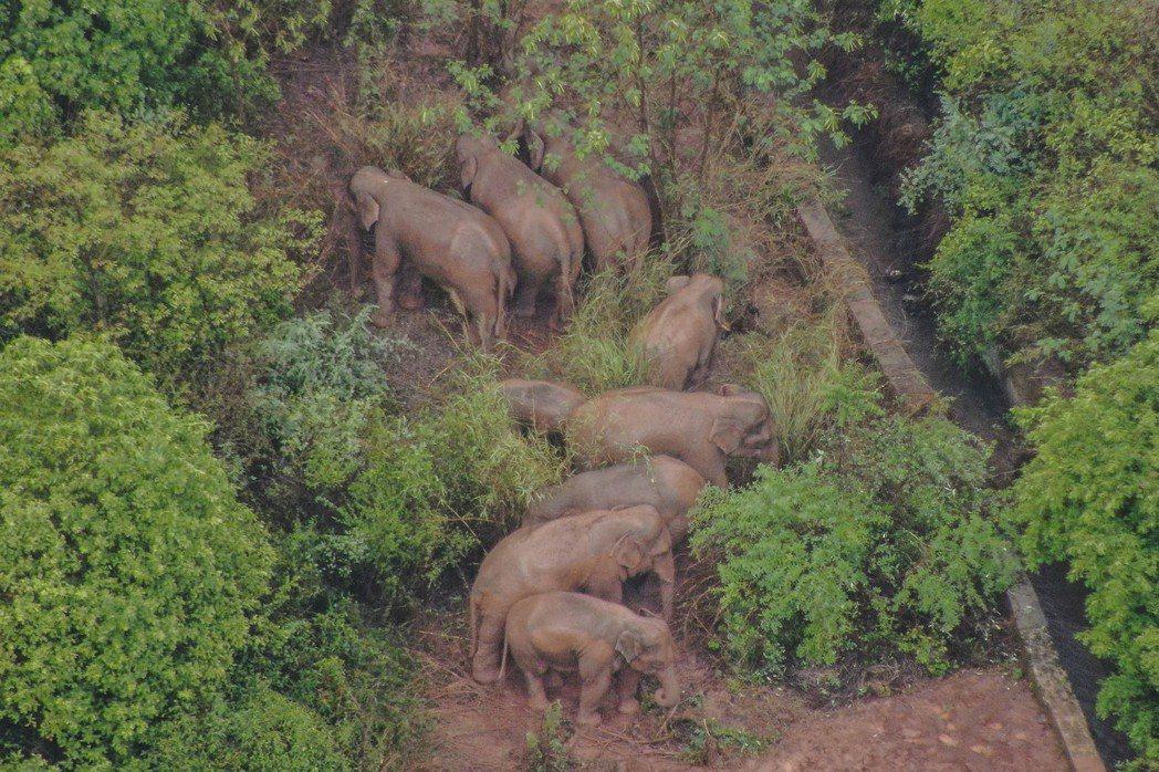 總數15頭的亞洲象原本還在昆明徘徊,8日開始出現往西向玉溪市移動的路線,但離開昆...