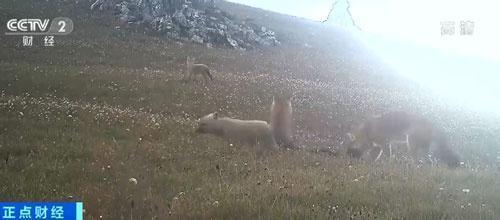 原本棲息在祁連山雲杉林山頂的豺群,也在甘肅省張掖市的黑崖溝現蹤。圖源:大陸央視