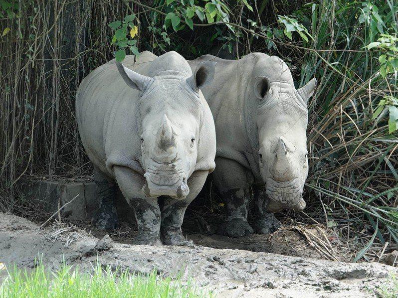 所有現生犀牛都已被列為瀕臨絕種保育類動物,牠們在地球上生存超過4千多萬年,過去曾有30多種犀牛,目前只剩下5種犀牛,而非洲的白犀牛正是其中1種。圖/北市動物園提供