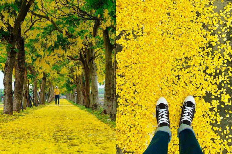 嘉義六腳鄉的阿勃勒隧道5月底滿開,準時化作金黃國度。圖/IG@bartpinyao授權