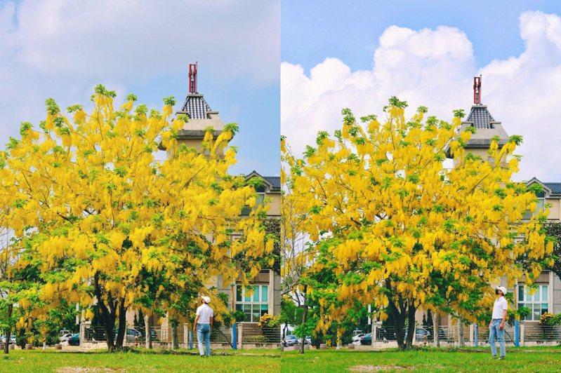 故宮南院有棵阿勃勒大樹佇立院內,吸睛指數爆棚。圖/IG@bartpinyao授權