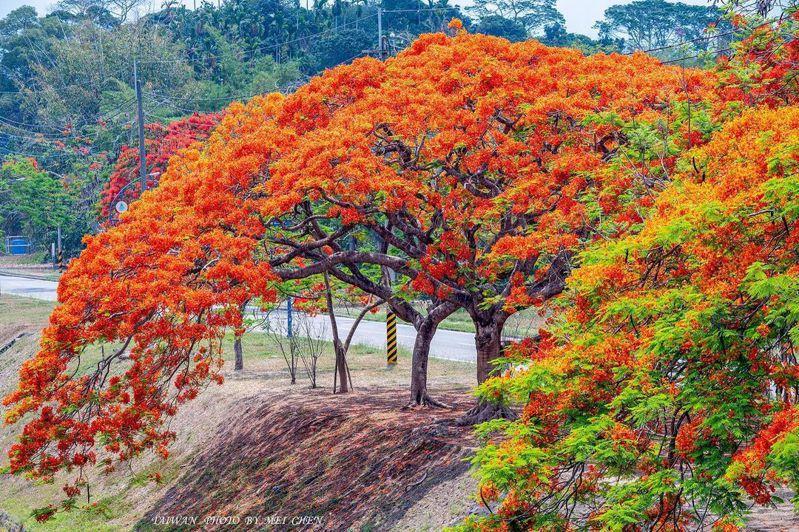 嘉義仁義潭水庫種有一排鳳凰花樹,爆炸式盛開的景色宛如吹來紅色風暴。圖/IG@no1305/授權