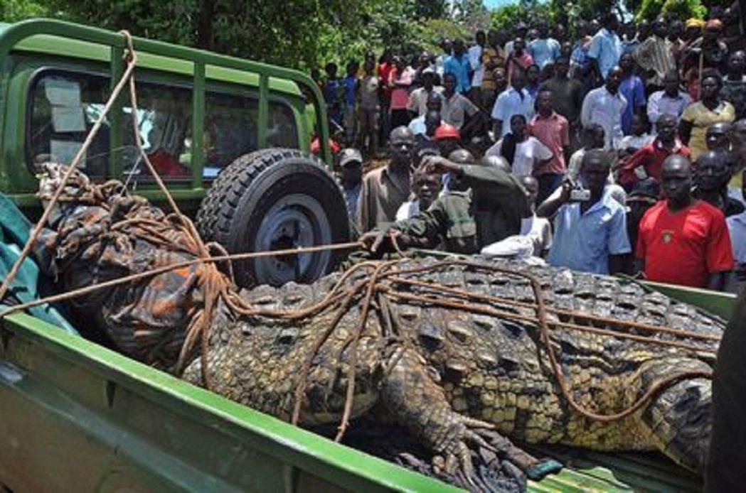 《鏡報》報導,這隻名為奧薩瑪的尼羅鱷被捕獲當時據信超過75歲,長近5公尺、體重近...