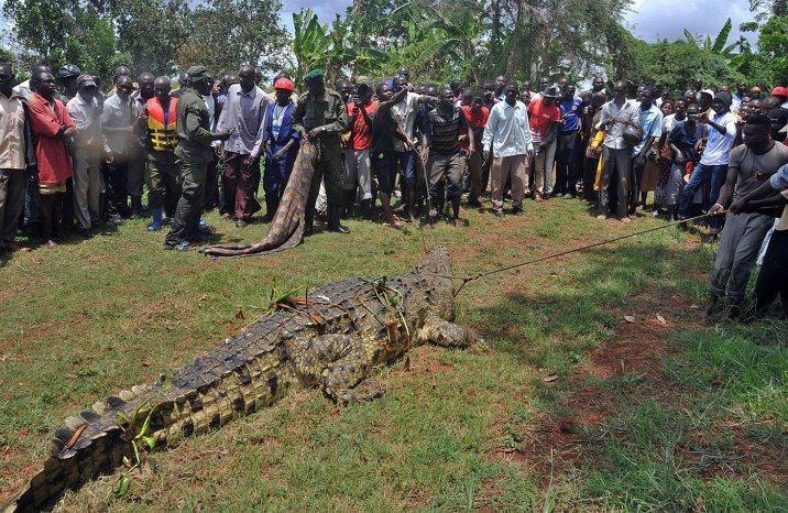 烏干達曾經有過著一隻「不朽」的嗜血巨鱷,十多年來吃掉超過80人,讓大人小孩都活在...