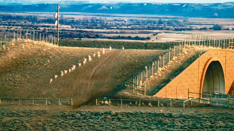 美國懷俄明州一群叉角羚經動物專用通道穿越公路。(紐約時報)