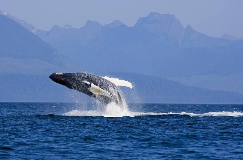座頭鯨是體型龐大的海洋生物,多在深海地區出沒。(視覺中國)