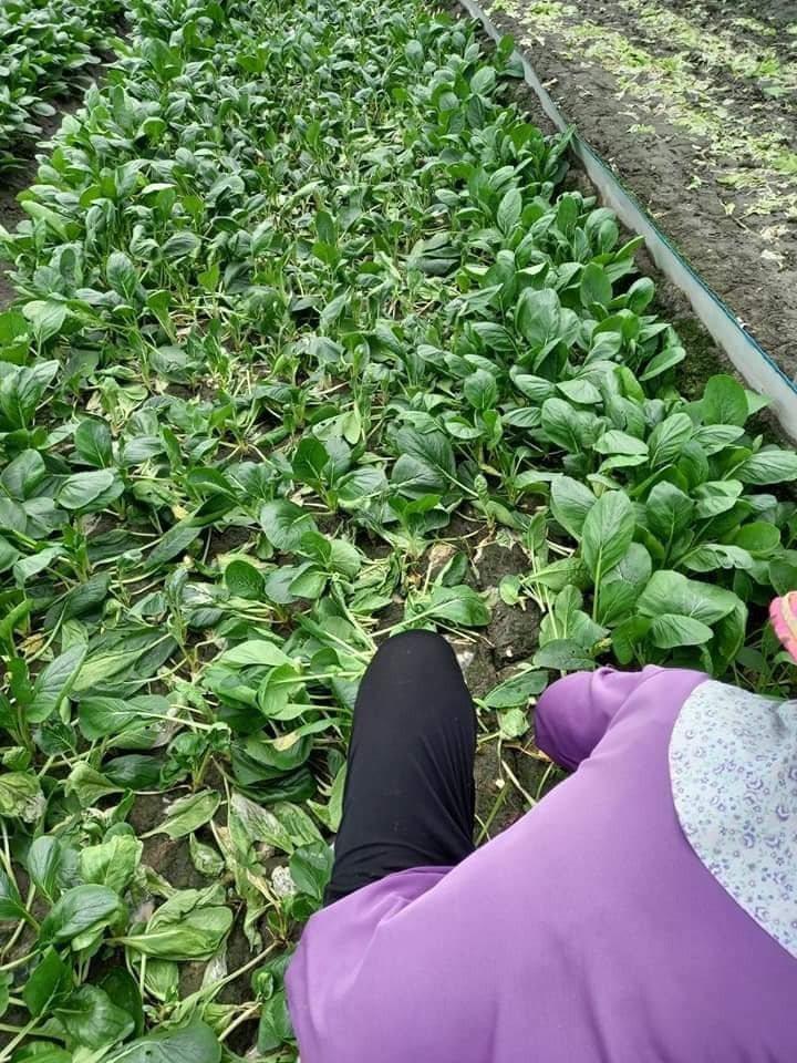 大雨過後,菜還站著的才可採收,但所剩不多。圖/台灣農業監督團隊提供