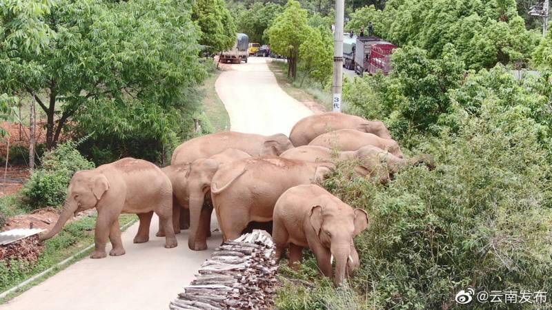 象群近日在昆明晉寧區內的夕陽彝族鄉範圍內活動。(微博@雲南發布)