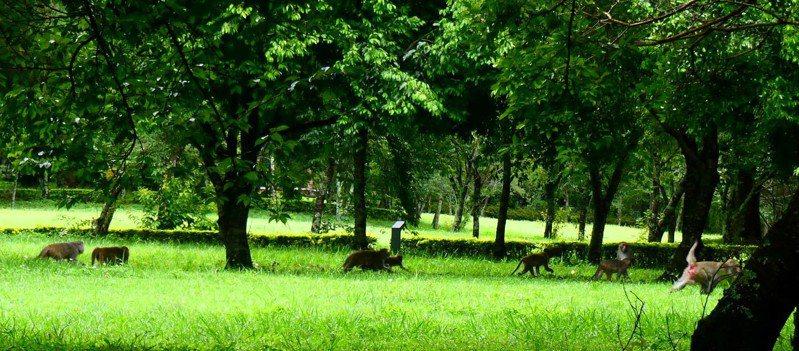 奧萬大森林遊樂區休園,櫻花園草坪近期常有台灣獼猴群聚。圖/奧萬大森林遊樂區提供