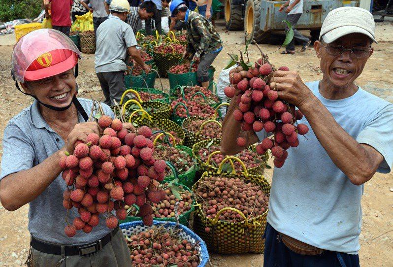 廣西欽州北區長灘鎮的荔枝豐收,果農們在收購點展示黑葉荔枝。(中新社)