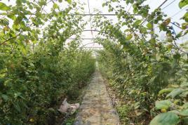 酸漿種植網室內,少有病蟲危害,提高果實安全性。 台南農改場/提供。