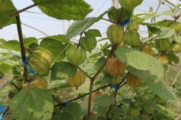 酸漿柚果實被膜呈現綠色,成熟後轉為黃褐色為果實成熟主要判斷指標。 台南農改場/提...