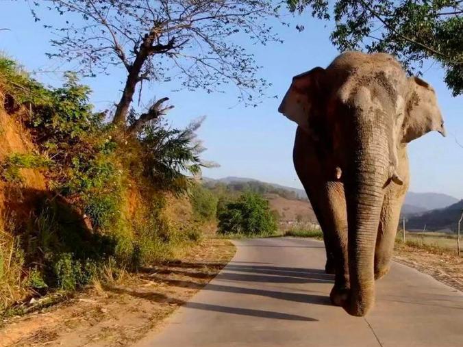 西雙版納的猛養子自然保護區內有一頭特殊的野象「老三」,曾喜歡在公路上亂逛,一天內破壞七輛車子。照片/新浪網