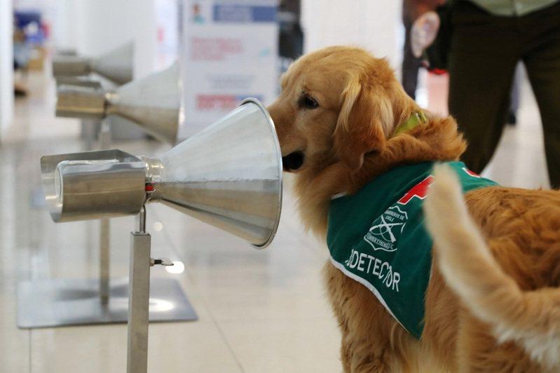 英法近日的研究都指出,犬隻偵測新冠肺炎的速度比PCR更快,也比側流法檢驗(LFTs)快篩法要更加準確。圖為智利首都聖地牙哥的國際機場裡,一隻嗅探犬正接受偵測新冠肺炎的訓練。路透