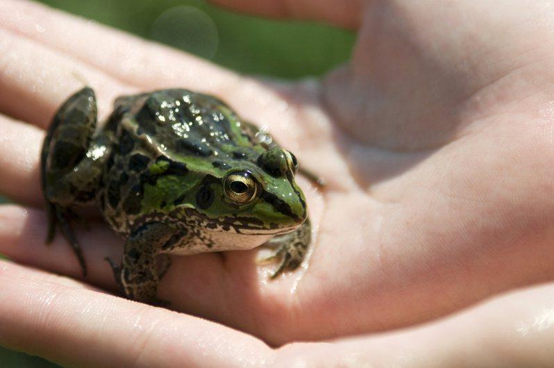 孫大伯聽信偏方,生吞五隻青蛙,後感染生蟲高燒不止。圖片來源/ingimage