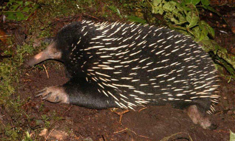 針鼴受封為擁有「最奇怪生殖器」的哺乳類動物。圖/取自theguardian