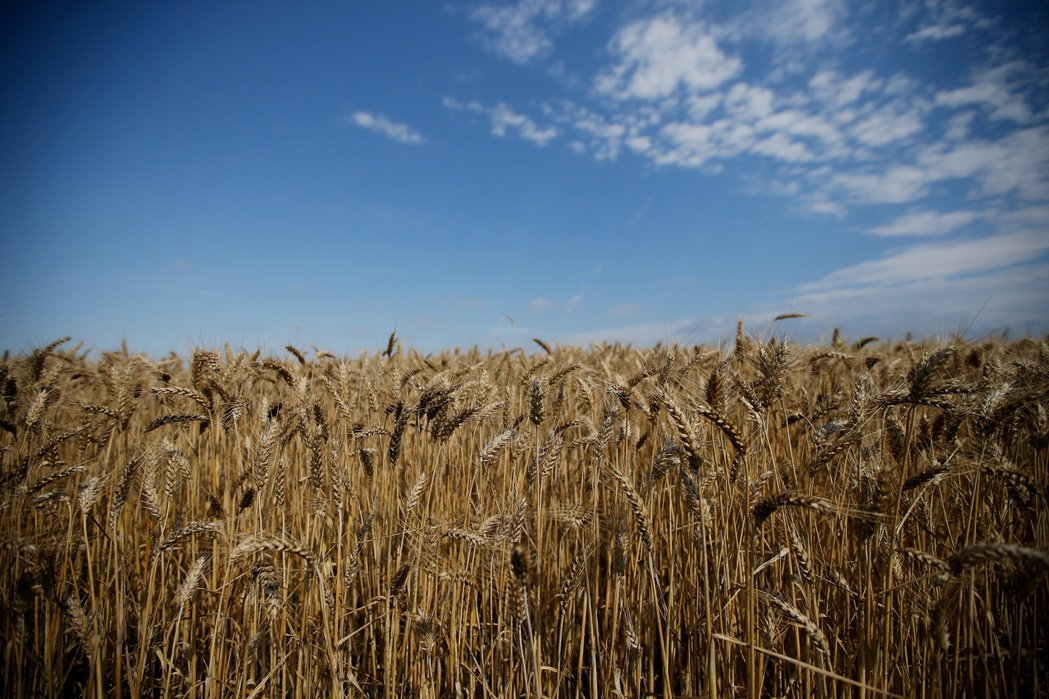 法國西部一處小麥田。  路透